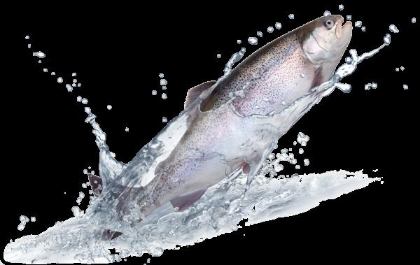 Fisch-Newbies (Inhalt Lachs, Forelle, Egli, Dorsch)