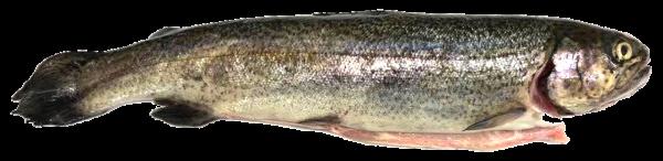 Forelle mit Kopf ausgenommen ca. 300 g
